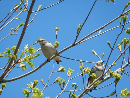 白老 萩の里自然公園 花ごよみ 動物 鳥 コムクドリ