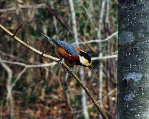 白老 萩の里自然公園 花ごよみ 動物 鳥 ヤマガラ
