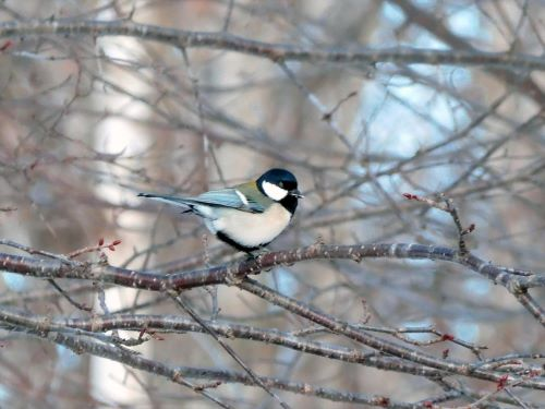 白老 萩の里自然公園 花ごよみ 動物 鳥 シジュウカラ