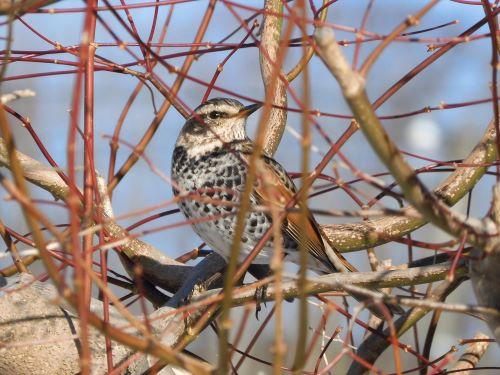 白老 萩の里自然公園 花ごよみ 動物 鳥 ツグミ