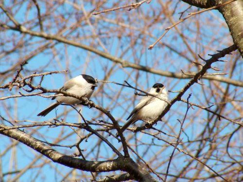 白老 萩の里自然公園 花ごよみ 動物 鳥 ハシブトガラ