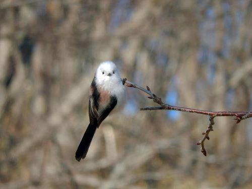 白老 萩の里自然公園 花ごよみ 動物 鳥 シマエナガ