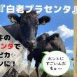 白老 虎杖浜 ソウルシグナル研究所 プラセンタ美容液 プラセンタサプリ 白老牛